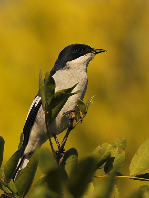Papa-moscas-fiscal // Fiscal Flycatcher