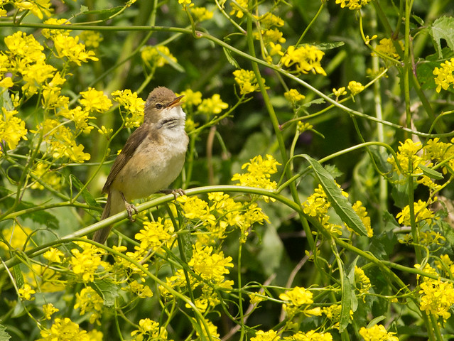 reed warbler in yellow flowers