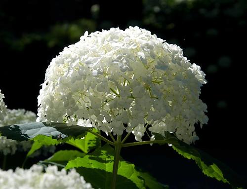 Hydrangea arborescens 'Annabelle' Sw 96-131 U 6-16-12 2 lo-res