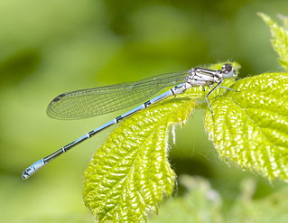 Azure Damselfly ( Ten M ) ?