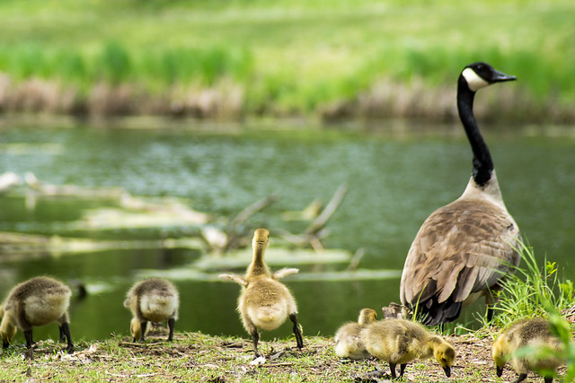 Goslings, Geese, Dance, Gosling, Canada Goose