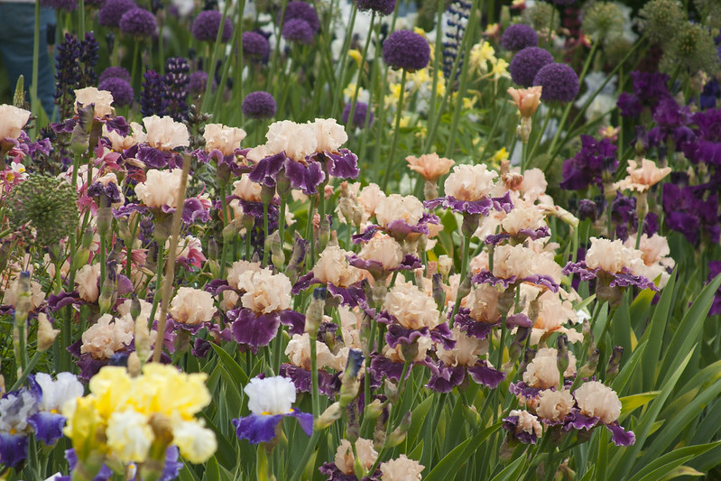 Mulberry Iris 5