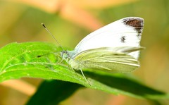 arthropod, pollinator, animal, moths and butterflies, butterfly, leaf, wing, nature, invertebrate, macro photography, green, fauna, cabbage butterfly, close-up, pieridae,