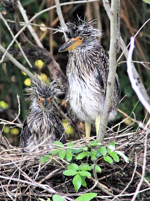 Yellow-crowned Night-Heron nest 22 nestlings 2-20130602