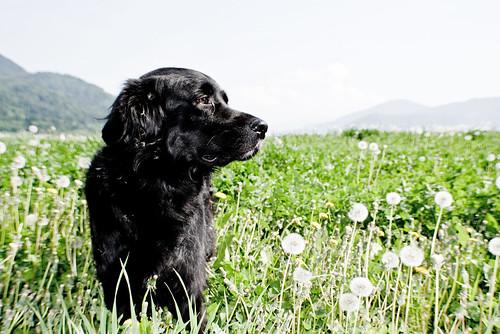 Dandelion_Dog