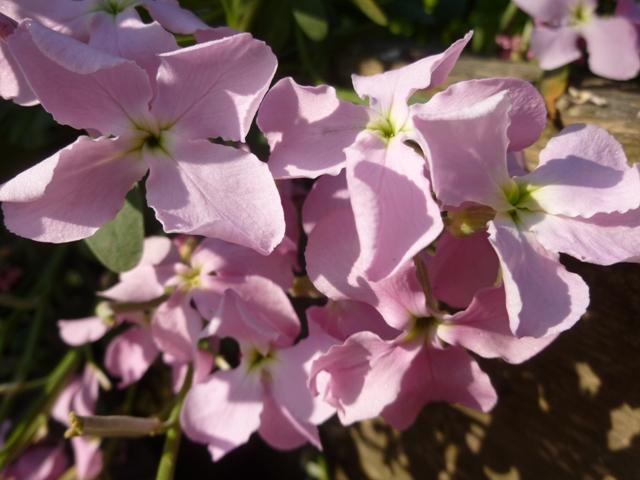Wallflowers- smell lovely