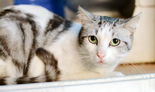 Axel, mimoso gatito blanco y tabby gris azulado, ojazos verdes, sano y esterilizado de 2 años en adopción. Valencia 9140509487_dc609f87e6