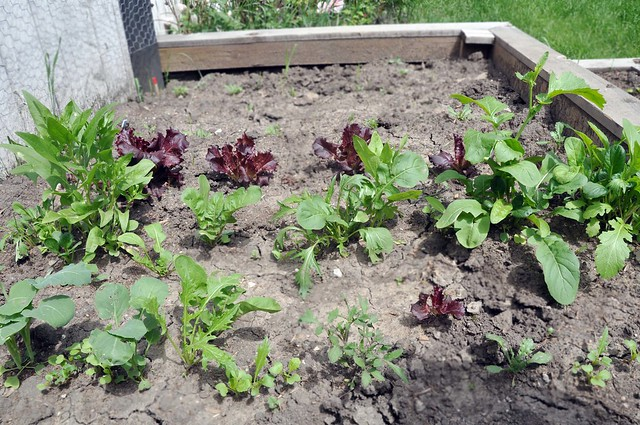 Lettuces_2