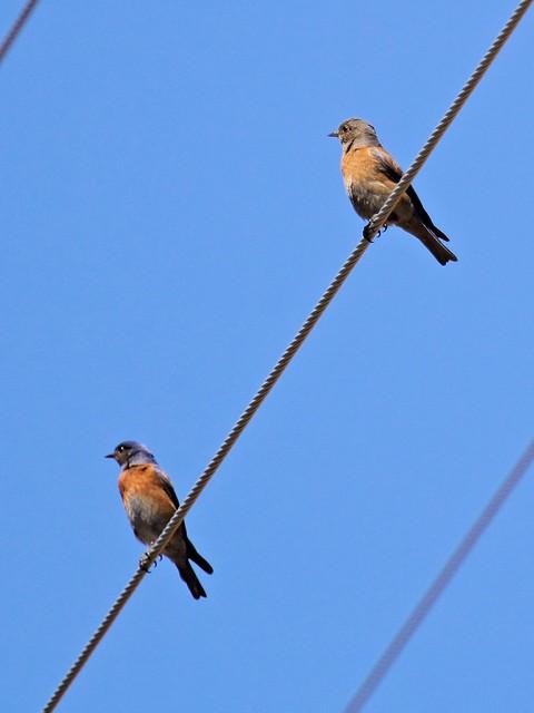 Western Bluebirds 20130617