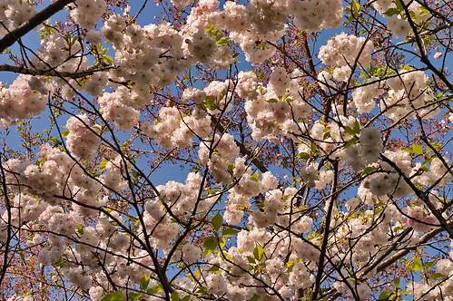 【写真】桜 : 梅宮大社