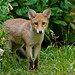 Fox cub by andrewinpompey
