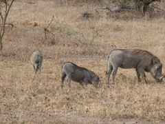 animal, prairie, pig, herd, grazing, fauna, pig-like mammal, warthog, savanna, wildlife,