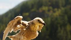 incoming sea gull