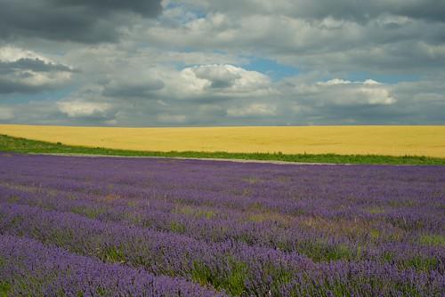 landscape purple general farming manualfocus hertfordshire hitchin englishsummer primelens ickleford zf2 cadwellfarm hitchinlavenderfarm walkingwithmynikon zeissplanart50mmf14zf2 d800e smallenglishlandscape