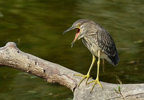 Bihoreau gris Nycticorax nycticorax - Black-crowned Night Heron by PhotoDaika