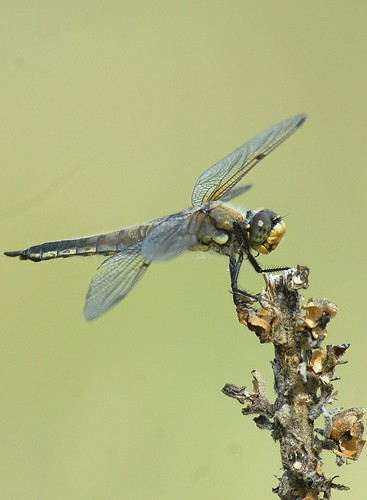 5 libellulaquadrimaculata fourspottedskimmer naturesspirit soarinnaturesspirit