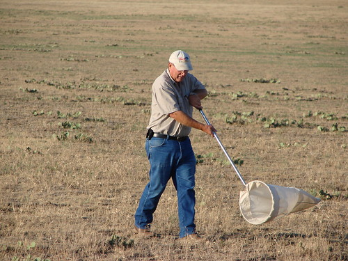 Nelson Foster collecting grasshoppers with a sweep net on rangeland in South Dakota.