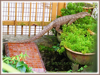 5-ft long monitor lizard (Varanus bengalensis) at the back-lane, just outside our backyard, Aug 10 2013