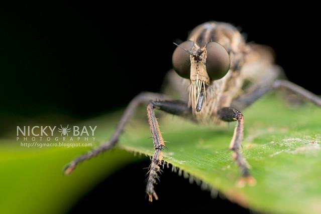Robberfly (Asilidae) - DSC_2185