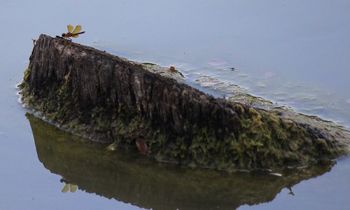 IMG_1092_Eastern_Amberwing_Dragonfly_on_Something_in_the_Water