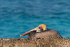 Brown Pelican on Garden Key by Photomatt28