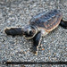 Baby-Loggerhead-Sea-Turtle-on-Beach-Going-to-Ocean