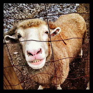 Say Cheese! #smile #sheep #love #farmanimals #toocute