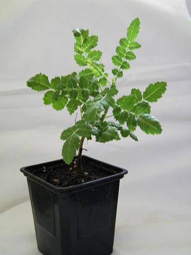 Frankincense Tree / Boswellia sacra / Weihrauchbaum by abracacamera