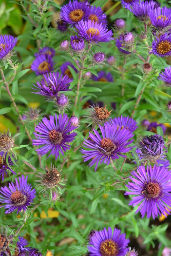 SYMPHYOTRICHUM novae-angliae 'Mabelle'