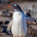 Gentoo Penguin @ Petermann Island, Antarctica