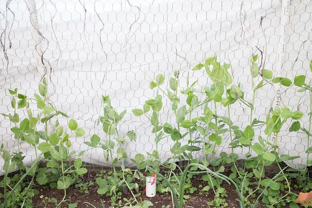 Garden May 15 2015_11