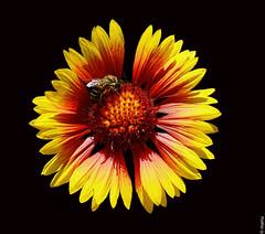 gaillardia, flower, yellow, gerbera, macro photography, flora, close-up, illustration, petal,