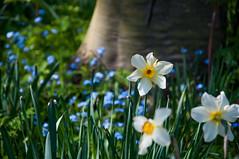 Daffodils & bluebells