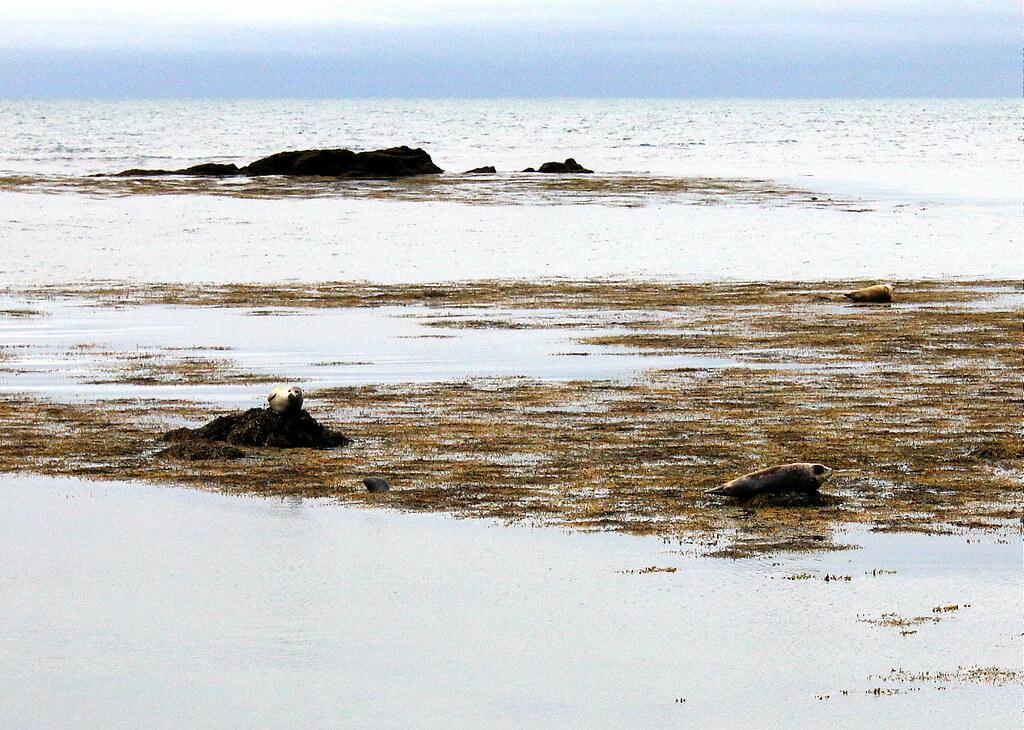 snaefellsnes-peninsula-ytri-tunga-seals
