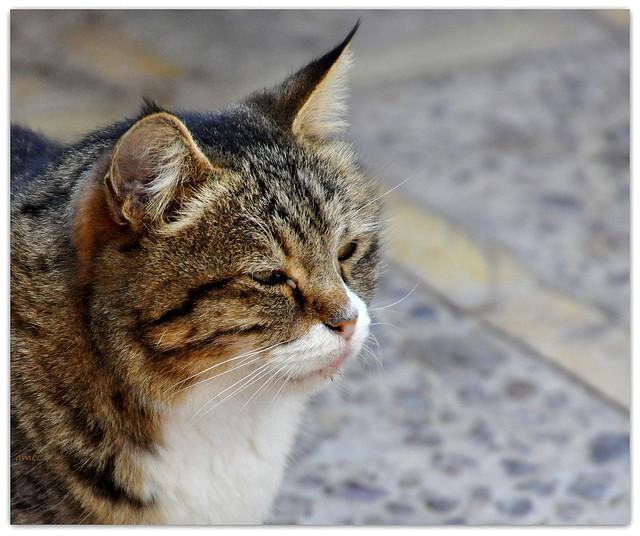 le chat d'Iran !