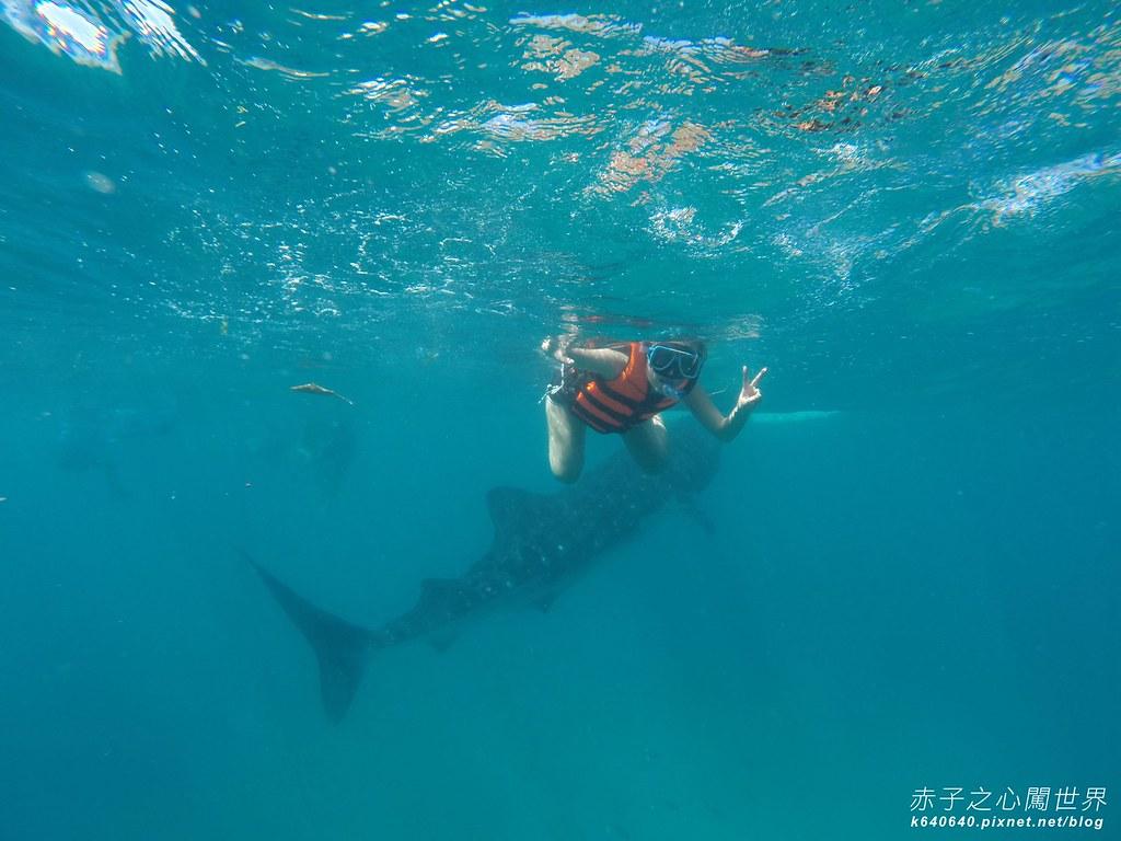 宿霧鯨鯊游泳-Oslob Whale Shark-065