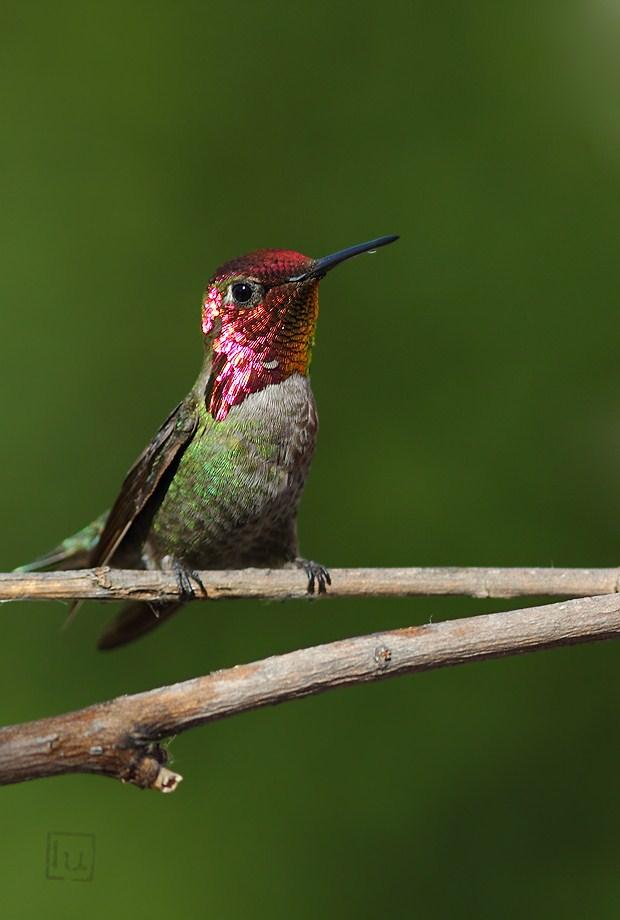Anna's Hummingbird 041612-2