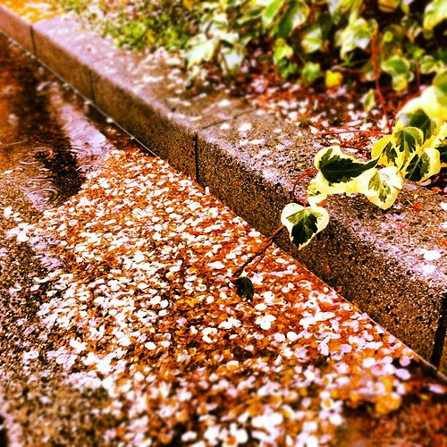 Cherry blossom petals wilting on the ground.