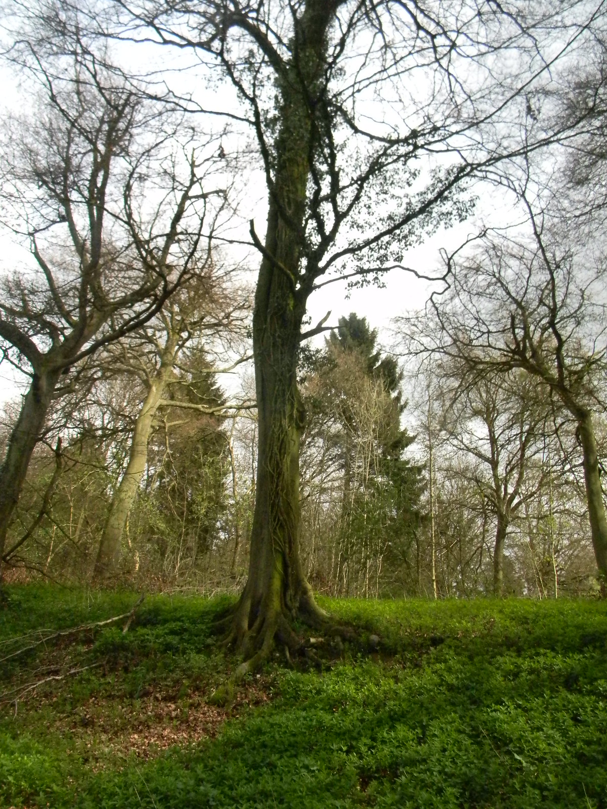 Tree on a mossy bank Wendover Circular via Lee