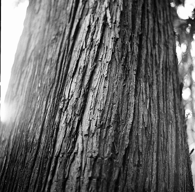 Tree on the Humbug trail, Andrew D. Barron©3/27/12