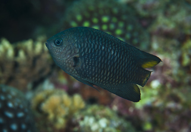 A fish with no tail fin pomacentrus philippinus flickr for Fish tail fin