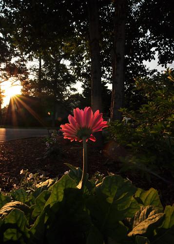 flowers flower nikon huntsville alabama tyler tokina daisy f28 gerber d90 straightoutofthecamera sooc huntsvillealabama 1116mm urbanvelo wideangleultrawide blinkagain