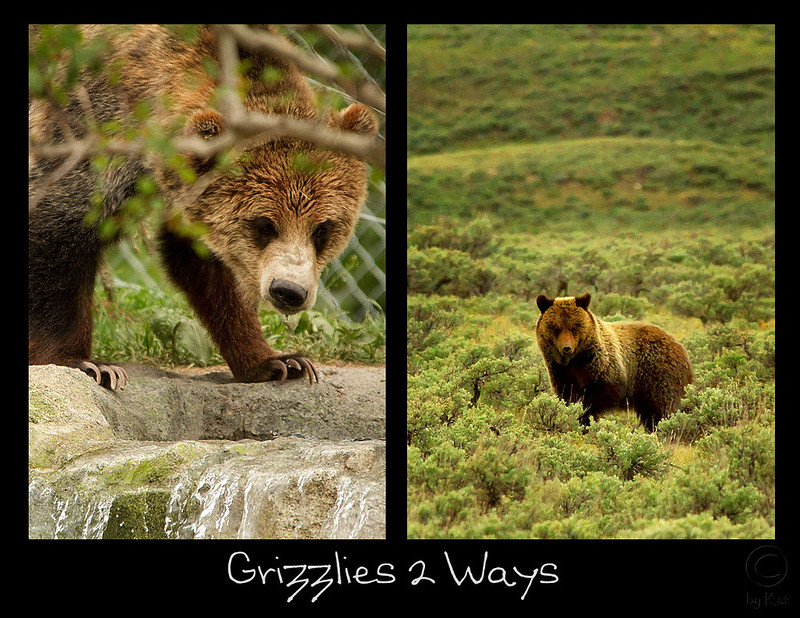Grizzly in the Zoo and in the Wild (Yellowstone Ntl Park)