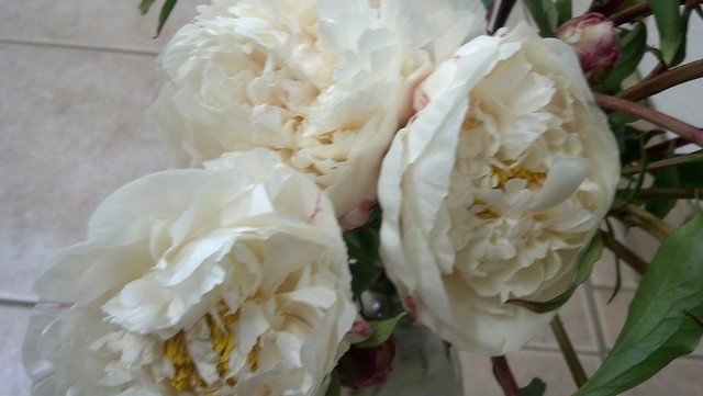 bridal dream white peony