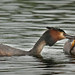 Great-crested grebe feeding chick