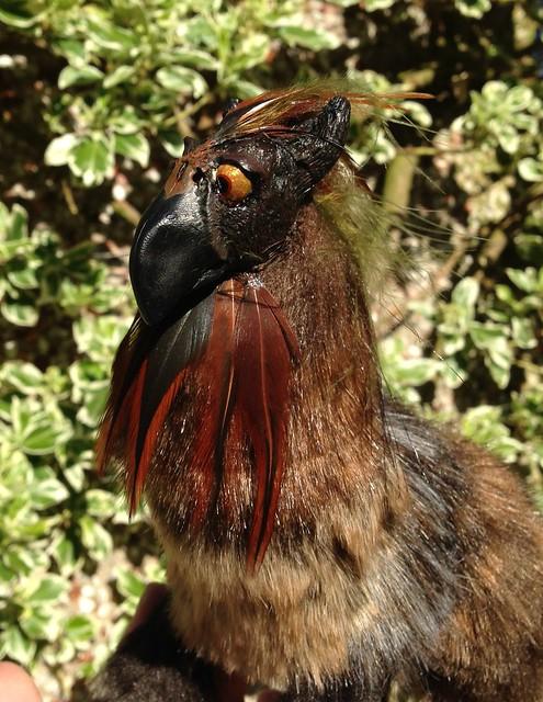 'Rigel' - Pygmy Gryphon