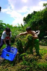 志工王湘白將盤根錯節、堆積如山的粉綠狐尾草,大學生黃雅如在一旁接力,準備將其拿去曝曬。