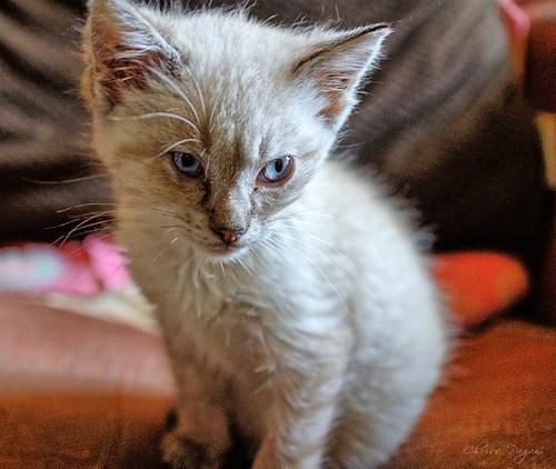 Rescue Siamese Kitten