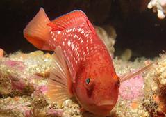 Crimson banded wrasse - Notolabrus gymnogenis