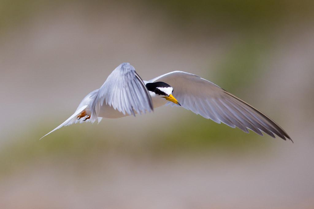 小燕鷗-2256